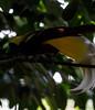 20170820-0I7A0465-Lesser bird-of-paradise (siddharthx) Tags: singapore sg lesserbirdofparadise canon7dmkii nature ef100400mmf4556lisiiusm jurongbirdpark aviary bigbirds largebirds