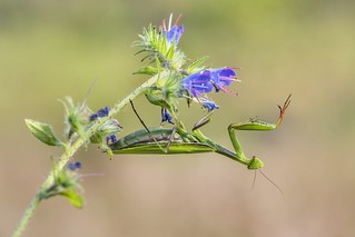 *The acrobatics of the mantis*