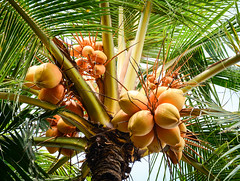 Coconut tree and fruits (phuong.sg@gmail.com) Tags: agriculture asia asian botany branch bunch bundle close closeup coconut drink edible exotic farm feed flora food fresh fruit garden green group growth hanging healthy leaf many natural nature nutrition nuts organic outdoors palm plant raw ripe rural summer thai thailand tree tropic tropical trunk vacation vegetable vegetarian vitamins