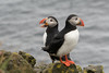 Singing in the Rain (finor) Tags: sony alpha a6500 ilce6500 sal70400g2 puffin papageientaucher latrabjarg rain iceland