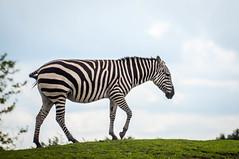 CR2017_0804_Wildlands_2812 (Corry Rovers) Tags: drente emmen wildlands gewervelden zebra zoogdieren