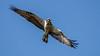 Fischadler in voller Pracht (cfowallburg) Tags: fischadler müritznationalpark