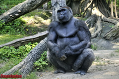 GORILA. GORILLA. NEW YORK CITY. (ALBERTO CERVANTES PHOTOGRAPHY) Tags: animal gorila gorilla arbol tree planta plant photography retrato portrait campo selva camp realm ground countryside field land zoologico zoo forest verde green jungle