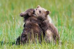 "Bear Hugs  3I4915 (Dr DAD (Daniel A D'Auria MD)) Tags: ""brownbears"" ""brownbearcubs"" ""bears"" cubs nature wildlife mammals predators ""livingwithbears"" grizzly grizzlies ""coastalbrownbears"" alaska ""lakeclarknationalpark"" ""danielad'auriamd"" ""drdadbooks"" ""children'swildlifebooksbydanielad'auriamd"" ""july2017"""