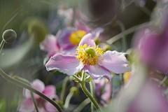 Summer Dreams (explored 11/08/2017) (Shootmania) Tags: summer dreams outdoor garden anemones bokeh flowers pink blumen garten sommer anemonen nikon