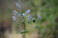 Mentha spicata (esta_ahi) Tags: larboç baixpenedès tarragona spain españa испания mentha spicata menthaspicata labiatae lamiaceae flor flora flores silvestres menta