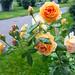 Roses+in+the+Rain