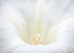 the beauty of bindweed - for macro mondays 'high key' (Emma Varley) Tags: bindweed white flower macro highkey macromondays stamen petals cream