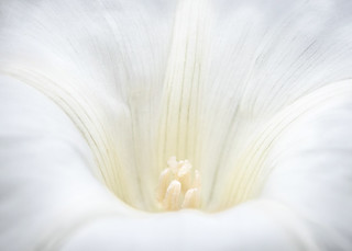 the beauty of bindweed - for macro mondays 'high key'