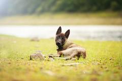 Yakari (Magic Dogs Photography - Elisa Pirat) Tags: chiot puppy bébé mignon dog chien malinois akita américain pets nature sun soleil vert green herbe rivière attitude regard yeux
