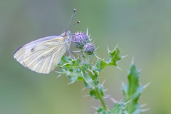 Large white (Happy snappy nature) Tags: butterfly beautiful bokeh geen white nature wildlife outdoors shropshire dullday