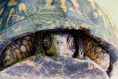 TURTLE (sal tinoco) Tags: turtle nature wildlife outdoors animal color colorful contrast eyes eye