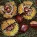 "Cincinnati – Spring Grove Cemetery & Arboretum ""Chinese Tree Chestnuts"""