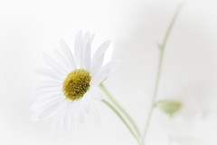 """High Key"" Daisy- Macro Mondays (Karon Elliott Edleson) Tags: highkey daisy flower macromondays macro minimalism lighting white whitebackground"