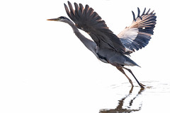 Great Blue Heron (Chatham Sound) Tags: esquimalt lagoon canada britishcolumbia langford esquimaltlagoon nikond5 tamron150600mmlens