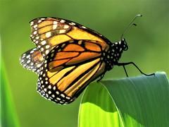 Monarch Butterfly (mind20set16) Tags: monarch flier wings