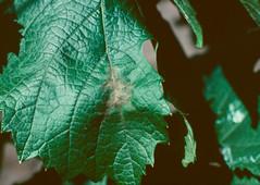 Botrytis cinerea infection of grape leaf (The NYSIPM Image Gallery) Tags: cornell cals nysaes newyork ipm nysipm integratedpestmanagement fruitipm grapediseases fruitpests fruit botrytiscinerea botrytis botrytisbunchrotandblight fungus grapeleaf graymold ipmimagegallery cropprotectionandpestmanagementprogram usdanifa cppm cornelluniversity usda nifa nysipmimagegallery