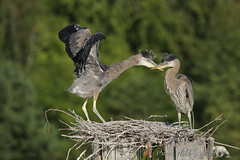 Nice Technique (PamsWildImages) Tags: heron chicks nest nature wildlife canada bc pamswildimages
