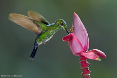 Pink delight (hvhe1) Tags: nature wildlife wild animal bird hummingbird greencrownedbrilliant heliodoxajacula groenkruinbriljantkolibrie brillantferdelance kolibrie costarica bosquedepaz musavelutina pinkbanana bee hvhe1 hennievanheerden specanimal