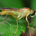 Yellow Soldier Fly Profile