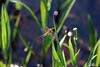 Libelle (jazzfoto.at) Tags: dragonfly niveauàbulle vaterpas livellaabolla waterpas níveldebolha poziomica ватерпас vattenpass niveldeaire vodováha szintező sony sonyalpha sonyalpha77 alpha77 sonya77 nature natur macro naturfotografie insekt insect wasser water teich pond slta77v