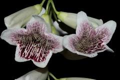 Pandorea pandorana (andreas lambrianides) Tags: pandoreapandorama bignoniaceae pandoreapandoranasubsppandorana tecomapandorana tecomaaustralisvarlinearis tecomaaustralisvarmeonantha spearwood wongawonga wongavine australianflora australiannativeplants australianrainforests australianrainforestplants qrfp ntrfp cyrfp trfp arfflowers creamarfflowers monsoonarf uplandarf lowlandarf mountainrainforest