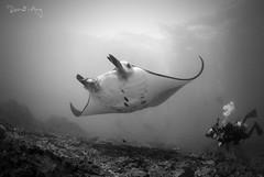 Reef Manta Ray (Manta alfredi) (Randi Ang) Tags: reef manta ray reefmantaray mantaray mantaalfredi mantapoint nusa penida nusapenida bali indonesia underwater scuba diving dive photography wide angle wideangle randi ang canon eos 6d fisheye 15mm randiang