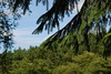 2017-08-28 cannock chase 062 (sonya.britton) Tags: cannockchase staffordshire ancientforest wood forest walk family tree branch pine needles