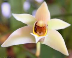 Epigeneium cymbidioides (Sylvio-Orquídeas) Tags: orquídeas orchids orchidaceae flores flowers espécies species epigeneium cymbidioides dendrobium