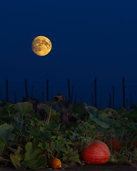 Pumpkin Patch and Moon 3739 D (jim.choate59) Tags: autumn fall pumpkin pumpkinfield field moon moonrise marioncountyoregon oregon rural twilight evening halloween jchoate d610 mtangel on1pics