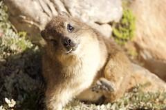 Anglų lietuvių žodynas. Žodis hyrax reiškia damanas lietuviškai.
