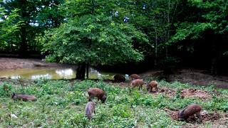 Des Marcassins dans la forêt de Chaux à Dole !