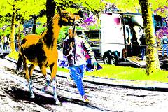 Wemmel, Jaarmarkt 2017 #6 (foto_morgana) Tags: belgique belgium belgië horse jaarmarkt2017 mammalia mammals mammifères säugetiere wemmel zoogdieren lightroom