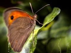 Macro (Antonio Goya) Tags: mariposa buterfly macro naturaleza nature insecto color orange micro43 olympus omd dng dzoom xataca zaragoza españa spain
