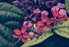 En el jardín del parque. (In the park's garden). (Víctor Pacheco.) Tags: canarias parquetaoro puertodelacruz tenerife islascanarias taoropark canaryislands vintage flor flores flower flowers jardín garden parque park