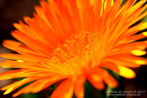 Orange Flower 3
