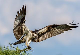 Osprey in Iroquois, Ontario