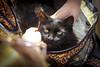 IMG_2494 (kz1000ps) Tags: boston massachusetts bostoncommon common park cats kitties kittens felines caturday purr catcafe brighton humane society adoptions