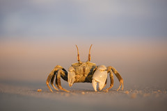 Ghost Crab (Daniel Trim) Tags: ocypode ghost crab morondava beach sunset madagascar nature wildlife photography