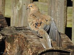Mourning Dove (CinciBirder) Tags: columbidae home mourningdove zenaidamacroura bird20iocreplaceoldbirdlist