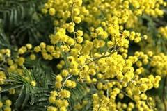 PHMP9293 (peterhut (Muirland Publishing)) Tags: garden australiannativeplants wattle