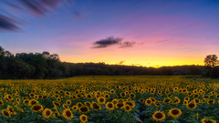 Sunset and Sunflowers (Gary Walters) Tags: landscape sunset sussex nature nj sonya7r colors sunflower newjersey maze sel2470z zeiss amateur flowers yellow colorful