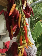 (delijesever1993@ymail.com) Tags: chilli f18 iphonephoto nofilter orange yellow red iphone7 peppers