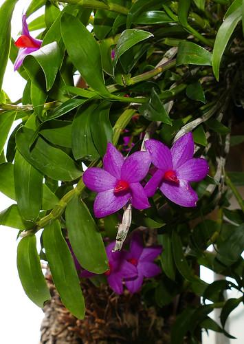 Dendrobium glomeratum species orchid