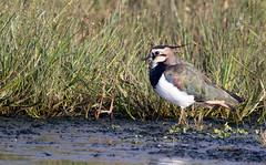 Lapwing (Catherine Cochrane) Tags: ngc shorebirds countryside moors moorland waders wildlife lapwing birds nature ayrshire light naturallight