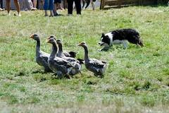 Concours des chiens de berger, Ségur 2017, Aveyron (lyli12) Tags: oiseau oie chien élevage agriculture aveyron france nikon troupeau