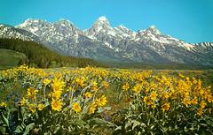Teton National Park, Wyoming (Thomas Hawk) Tags: america grandtetons tetonnationalpark usa unitedstates unitedstatesofamerica wyoming flowers postcard wildflowers fav10 fav25