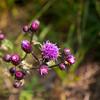 2017.09.05-25-2 (ivoryblushroses) Tags: colorado flora mtevans nature smoke