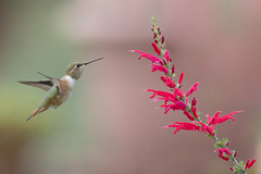 Coming to the Bloom II (Explored 9/16/17) (opheliosnaps) Tags: nature wild outdoors outdoor animal bif flight flower flora blossom pink green orange red garden bay area san francisco allens hummer flying little emerald explore