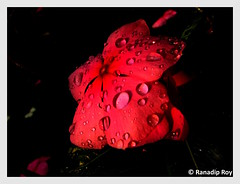 They keep falling (RanadipRoy) Tags: flower pink rain petals five drops droplets water catharanthusroseus madagascarperiwinkle rosyperiwinkle teresita vinca capeperiwinkle roseperiwinkle oldmaid nayantara flora nature outdoor wet wayanad kerala india canon powershots3is